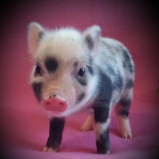 Mini pocket pigs read more voltagebd Choice Image
