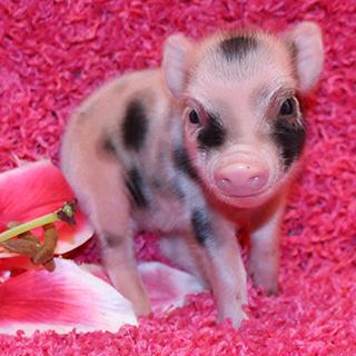 Mini pocket pigs previous next voltagebd Gallery