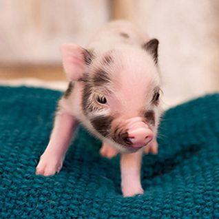 Mini pocket pigs babies weve sold voltagebd Choice Image
